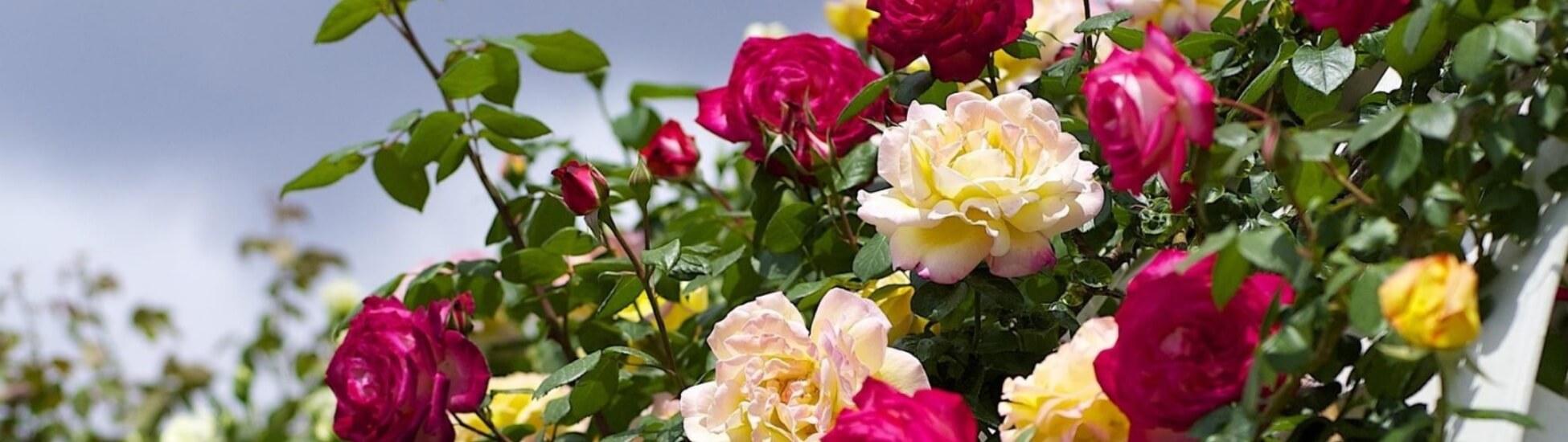 novap roses